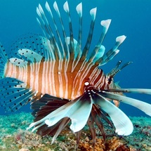 Lion Fish  © Tony Baskeyfield