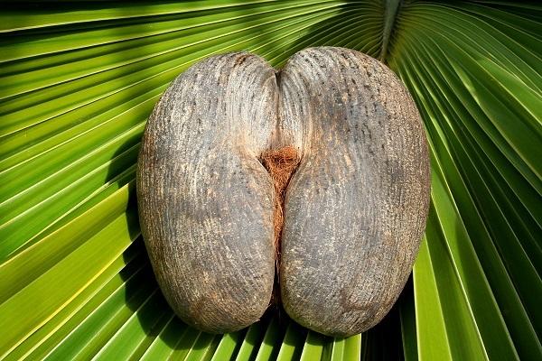 Female Coco De Mer Nut©Gerard Larose