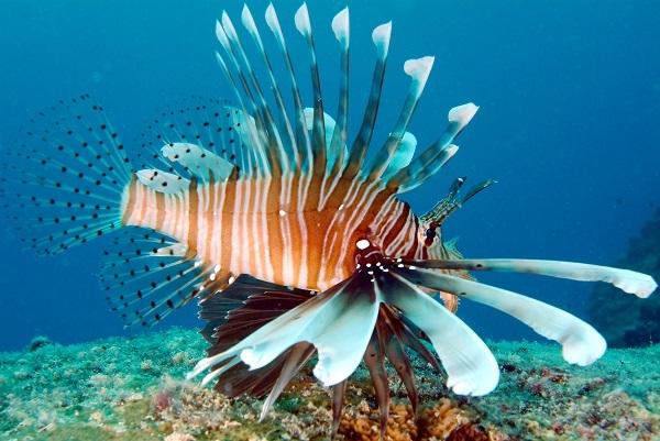 Lion Fish  © Tony Baskeyfield