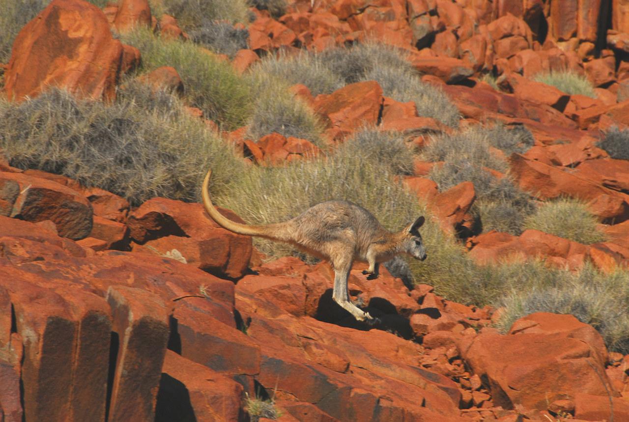 "Euro Kangaroos, Copyright ""Geoff Scholz"""